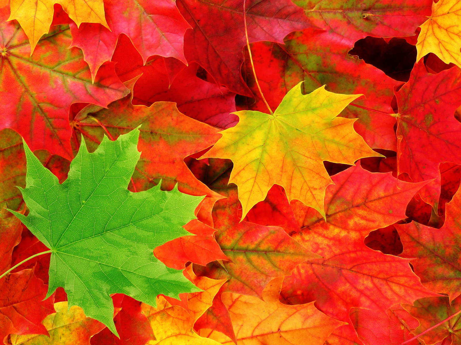 colorate_foglie_di_acero